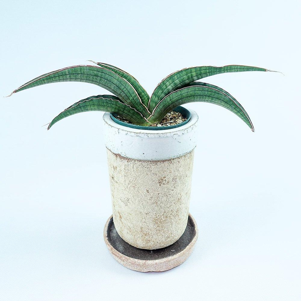 サンセベリア sp.アンゴラ