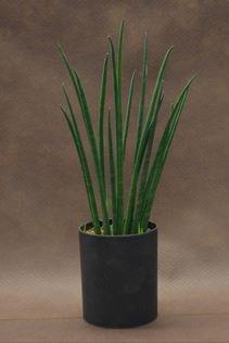 サンスベリア バキュラリス 黒