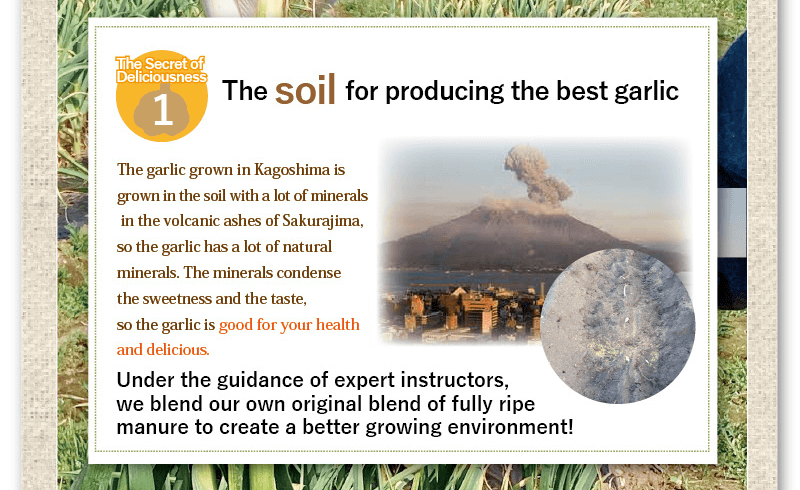 the soil fore producing the best garlic