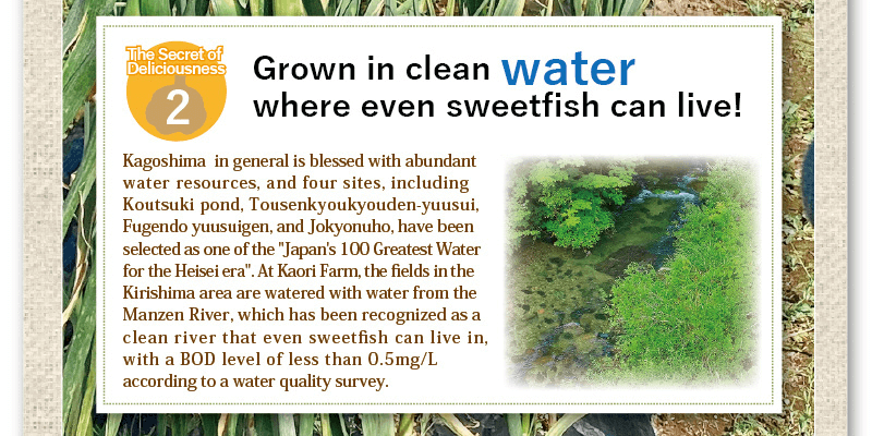 grown in clean water where evensweetfish can live