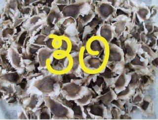 モリンガネシアンの種 30粒