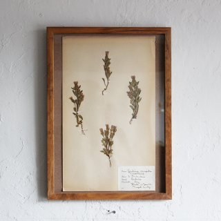 <img class='new_mark_img1' src='//img.shop-pro.jp/img/new/icons13.gif' style='border:none;display:inline;margin:0px;padding:0px;width:auto;' />Mid 1900's French Plant specimen A3
