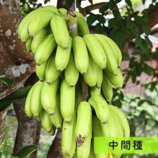 島バナナ (中間種) 2kg~