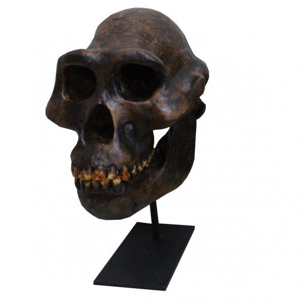 アウストラロピテクス 頭骨レプリカ