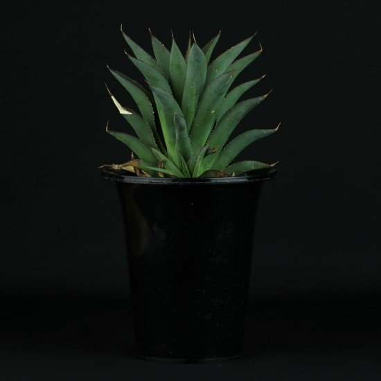 【Chika's Plants】agave blueglow