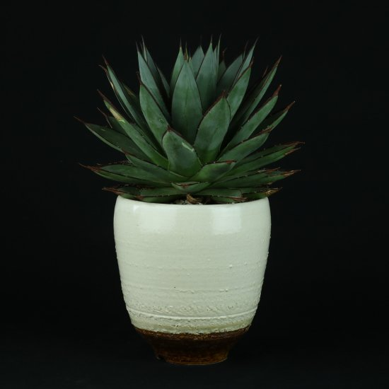 【Chika's Plants】Agave blue glow