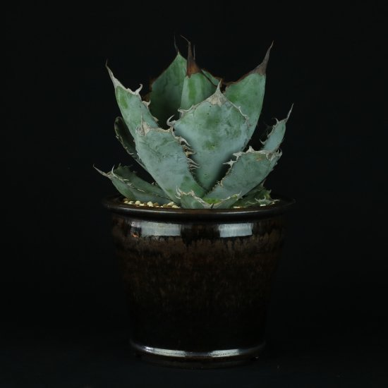【Chika's Plants】Agave titanota ice blue