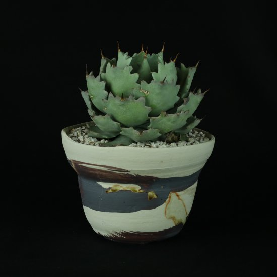 【Chika's Plants】Agave isthmensis