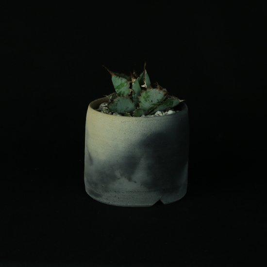 【Chika's Plants】Agave titanota black and blue