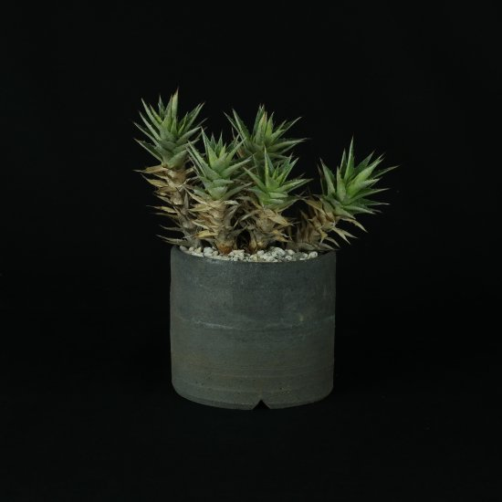 Deuterocohnia brevifolia ssp. chlorantha