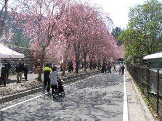 徳山のさくら祭り【画像2】