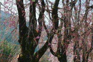 読み物 徳山の桜開花情報�