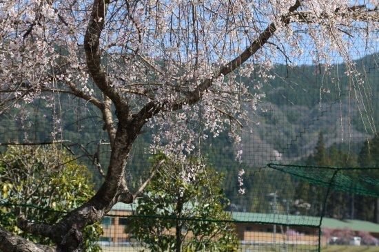 徳山の桜開花情報�【画像3】