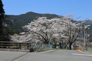 徳山の桜開花情報�