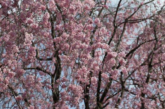 徳山の桜開花情報�【画像2】