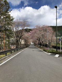 読み物 桜の開花情報