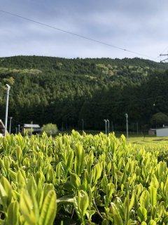 読み物 金色の茶畑