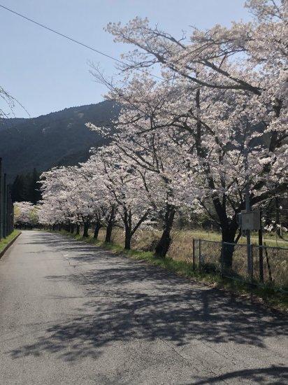 静かな枝垂れ桜【画像2】