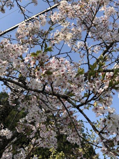 静かな枝垂れ桜【画像3】
