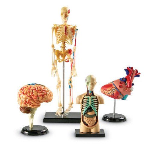 人体骨格・人体解剖・心臓・脳 模型4点セット