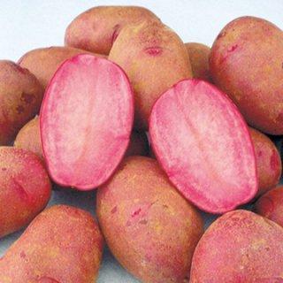 ジャガイモの種芋【西海31号(ドラゴンレッド)】〔20kg〕 ※送料無料