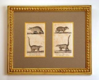 ビュフォン博物図版画 「アライグマ・ハナグマ」(GB-03)