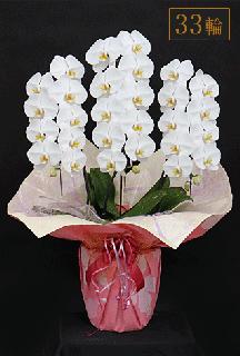 奇跡の胡蝶蘭「大輪長寿」3本立 33輪