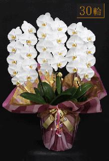奇跡の胡蝶蘭「大輪長寿」3本立 30輪