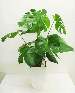 観葉植物 モンステラW