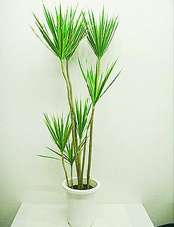 観葉植物 コンシンネ