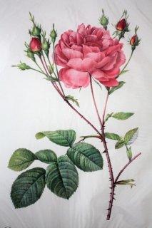 バラのボタニカルアート