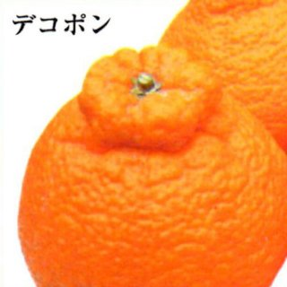 デコポン【ご家庭用】 7kg L〜2L混合28〜35個