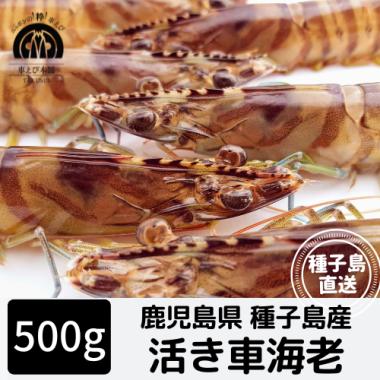 種子島産 活き車海老 500g(20-25尾)