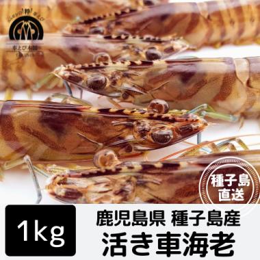 種子島産 活き車海老 1kg(30-40尾)