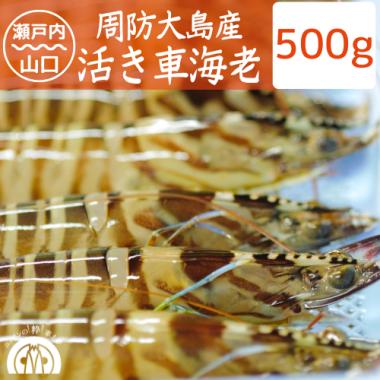 【成育中】周防大島産 活き車海老 400g