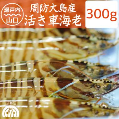 【成育中】周防大島産 活き車海老 250g