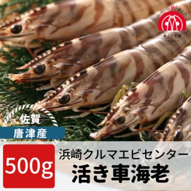 唐津産 活き車海老 500g(15-25尾)