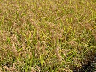 低農薬栽培 はえぬき  年間予約