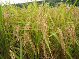 低農薬栽培 あきたこまち 年間予約
