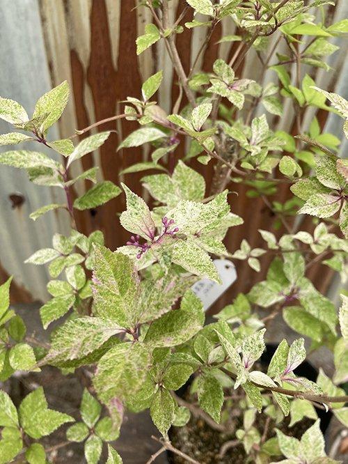 ムラサキシキブ 紫紫紫(シジムラサキ)/ 6号鉢苗