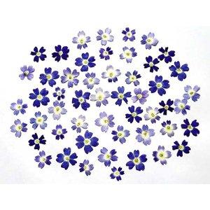 [ここ滋賀]ドライエディブルフラワー バーベナ ブルー 50枚【株式会社いと】