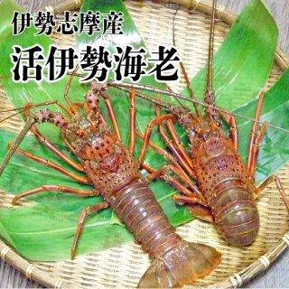 【冷蔵】伊勢志摩産 活伊勢海老 1尾 301〜400g