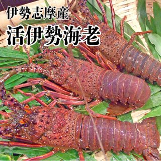 【冷蔵】伊勢志摩産 活伊勢海老 1尾 701〜800g