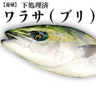【冷蔵】ワラサ(ブリ)(養殖) 4〜5kg