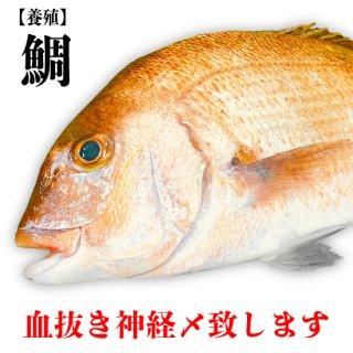 【冷蔵】タイ(養殖) 約40cm 1000g〜
