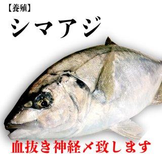 【冷蔵】シマアジ(養殖) 1.2kg
