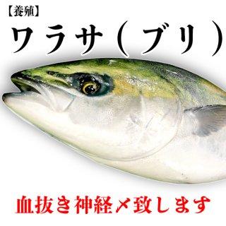 【冷蔵】ワラサ(ブリ)(養殖) 3〜3.5kg