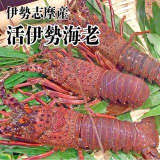 【冷蔵】訳あり伊勢海老500g 2〜3匹(足や角の欠けがありますが、味には影響ありません)