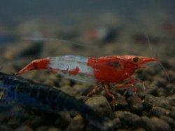 レッドルリーシュリンプ10匹セット ◆赤のコンストラストが綺麗◆