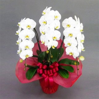 大輪胡蝶蘭 3本立 白 2Lサイズ(27〜33輪前後) ※送料込 おすすめ商品